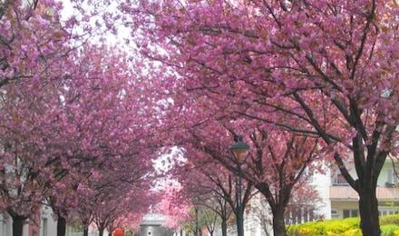 ウィーンの桜並木
