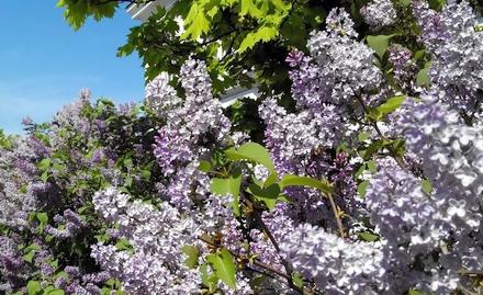 ウィーン市内の植え込みライラックの花