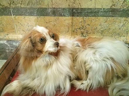 ウィーン自然史博物館のパピヨン犬