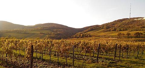 ウィーンの森に広がるワイン畑